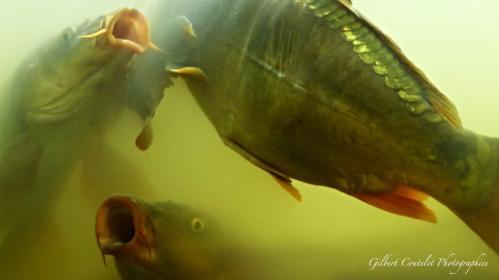 Gilbert Coutelet : Les poissons de mon étang